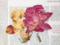 rose-en-cours-de-séchage